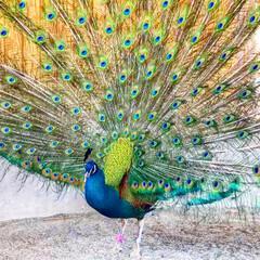 孔雀/平成最後の一枚 公園の孔雀。羽を開いてくれて、サービス精…