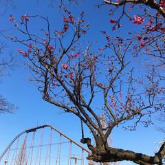 梅/小さい春 今季初梅見た!青空に映える真っピンクで綺…