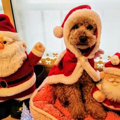 犬/わんこ/プードル/サンタさん/クリスマス/ペット みんなサンタさん…⁉️