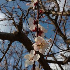 梅 桜🌸の投稿が多くなるなか  満開の梅を載…