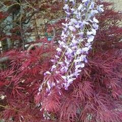 モコモコ/藤/花/令和の一枚/フォロー大歓迎/LIMIAファンクラブ/... 今年も我が家の藤の花はモコモコ咲きまくり…
