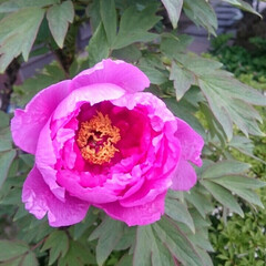 牡丹/庭/花/令和の一枚/フォロー大歓迎/LIMIAファンクラブ/... 令和元年の春の庭。