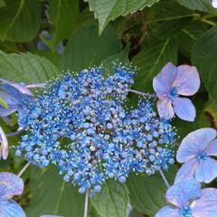 紫陽花/令和の一枚/フォロー大歓迎/LIMIAファンクラブ/おでかけ/風景/... 紫陽花満開だねぇ~😃🎶 と、↓を見たら。…