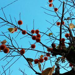 果物/冬の食事/鳥/柿/住まい/暮らし/... 上の方の柿の実は鳥さん用に残してあります。
