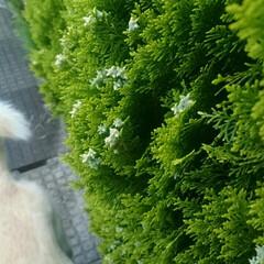 散歩/雨季ウキフォト投稿キャンペーン/令和の一枚/フォロー大歓迎/LIMIAファンクラブ/LIMIAペット同好会/... 散歩道の垣根。 金平糖みたい😁(1枚目)