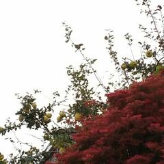 曇り空/果実/紅葉/次のコンテストはコレだ!/暮らし/フォロー大歓迎 秋色見っけ👀