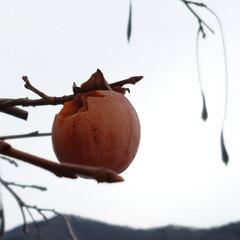 食べ放題/鳥/柿/住まい/フォロー大歓迎/リミアの冬暮らし 鳥さんモグモグ🐦