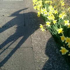 水仙/散歩/春のフォト投稿キャンペーン/フォロー大歓迎/春/LIMIAペット同好会/... いつもとはちょっと違う道へ❗😆