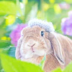 ホーランドロップ/うさぎ/雨季ウキフォト投稿キャンペーン お庭の紫陽花が咲いてきました💠