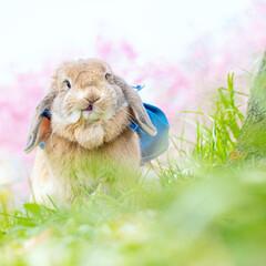 桜/春/うさんぽ/ホーランドロップイヤー/うさぎ 桜が満開に近づいてきたよー!