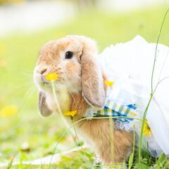 ホーランドロップイヤー/うさぎ/LIMIAペット同好会/フォロー大歓迎/ペット さくさの開花宣言がされましたね☺️ 満開…