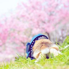 ホーランドロップイヤー/うさぎ/うさんぽ/桜 桜とうさけつ🌸
