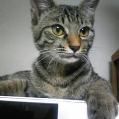 LIMIAペット同好会/にゃんこ同好会 今回は仔猫(中猫)の頃のケロちゃん特集で…(2枚目)