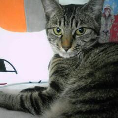 LIMIAペット同好会/にゃんこ同好会 今回は仔猫(中猫)の頃のケロちゃん特集で…(5枚目)