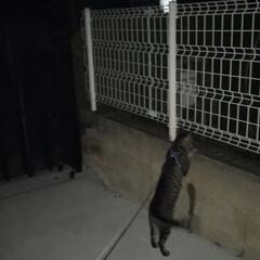 夜/さんぽ/ねこ 夜の散歩🌙☁️ どんどん、長くなる😩 家…(1枚目)