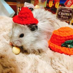 ハンドメイド/帽子/癒し/かわいい/長毛/ゴールデンハムスター/... ハムスター 小助も 「新しいお帽子似合う…