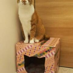 猫/ねこ/ダンボール/段ボール/ダンボールハウス/養生テープ/... ネコちゃんのダンボールハウスをかわいくD…