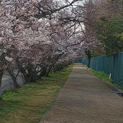 感謝/花言葉/ウォーキング/桜並木/桜 31日夜中に納品完了‼️ 気がついたら朝…(2枚目)