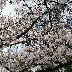 感謝/花言葉/ウォーキング/桜並木/桜 31日夜中に納品完了‼️ 気がついたら朝…(1枚目)