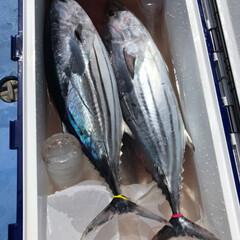 釣り/魚/つまみ/鰹のたたき/ハンドメイド/おうちごはん 彼が釣って来た鰹を私が捌いて、その日の夜…