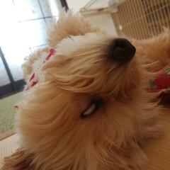おやすみベストショット/犬/おやすみショット 良く寝る子なので、寝顔はいっぱいありなす…
