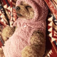 トイプ/ドッグウェア/犬服/ワンコ服/いぬバカ部/LIMIAペット同好会/... お散歩に行く為に服を着せてる途中で寝てし…(3枚目)