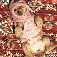 トイプ/ドッグウェア/犬服/ワンコ服/いぬバカ部/LIMIAペット同好会/... お散歩に行く為に服を着せてる途中で寝てし…