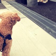 猫/お散歩シリーズ/親バカ部/いぬのいる暮らし/トイプードル/トイプ/... お散歩中❤︎ ちょっと遠くから睨めっこw