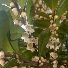 教えてください/樹木/花/ハマヒサカキ この木の名前をご存知ですか? 主に枝の裏…