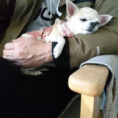 ペット/犬/わんこ同好会/チワワ/ちわわ/愛犬/... パパに抱っこされてねむねむのマロンです🐶😪