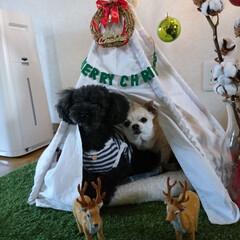 ティピーテント/トイプードル/愛犬/チワワ/ペット/犬/... もうすぐクリスマス🎄🎅 マロンのハウスに…