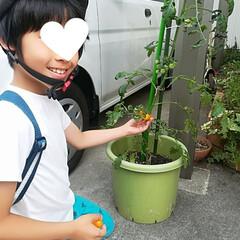 みんなにおすすめ 家庭菜園です‼️ 黄色いトマト~ 収穫が…