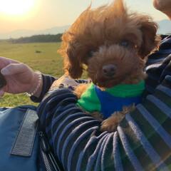 幸せなひと時/トイプードル/犬との生活/我が家の癒し/春のフォト投稿キャンペーン/フォロー大歓迎/... 土曜は夕飯を浴びましたよ〜 お散歩にいい…