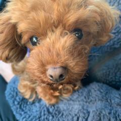 犬との生活/犬との暮らし/我が家の癒し/ペット/犬 今朝のサム。 寒いし、眠くて、 主人にべ…