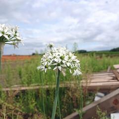 庭/ニラ ニラの花です。 多過ぎて食べきれず花でい…