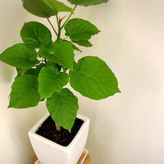 植物/ハート型/緑/鉢の植え替え/観葉植物のある暮らし ウンベラータ💚 観葉植物でも人気のあるウ…