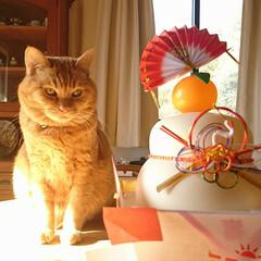 にゃんこ/にょっぺ/あけおめ/ペット/猫/にゃんこ同好会/... お正月にゃんこ(=^・・^=) 鏡餅の扇…(1枚目)