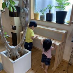 棚/リビング/DIY/観葉植物 おうちの観葉植物達がすくすく育ち植え替…(1枚目)