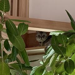 観葉植物/猫のいる暮らし/キャットウォーク/暮らし 家の隅々まで堪能するぴー様💕キャットウォ…