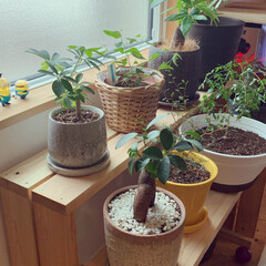 棚/リビング/DIY/観葉植物 おうちの観葉植物達がすくすく育ち植え替…(3枚目)