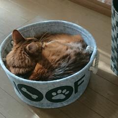 ダイソー/11才おめでとう/ビビアン/猫と暮らす/フォロー大歓迎 先日リミアで教えてもらった可愛いペット用…