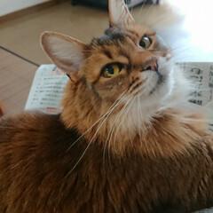 ビビアン/おにぎりアクション2020/お昼/おうちごはん/猫 こっち見てよ~とじっと待ってるビビアン🐱…