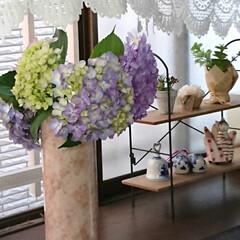 紫陽花/梅雨/フォロー大歓迎/暮らし 関東も梅雨に入りましたね🌂 庭の紫陽花を…