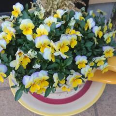 春色/ペパナプ/セリア/自粛の週末/ビオラ/フォロー大歓迎 週末の家ごもり1日目🏡  お花のセンスは…(2枚目)