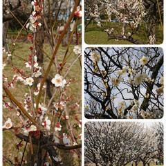 フォロー大歓迎/春/梅林/おでかけ/ピンク 近所の梅林公園へお散歩🌺 山さんの写真に…