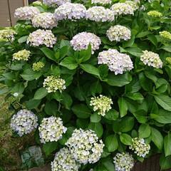 育ちすぎ/盛り盛り/紫陽花/暮らし 今年も盛り盛り咲いてくれました つぼみも…