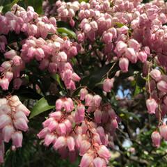 春のフォト投稿キャンペーン/はじめてフォト投稿 家の庭に毎年咲いている花です