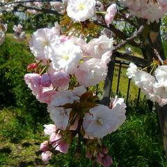 さくら/春のフォト投稿キャンペーン/ありがとう平成/令和カウントダウン/フォロー大歓迎/春/... 梅小路公園で撮った今年最後のさくらです🎵