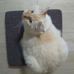ラグドール/ペット/猫 座布団の上で、ドヤ顔のしぐ👍️ はみ出し…
