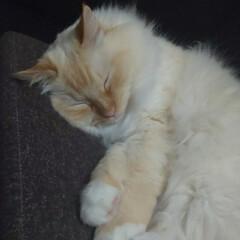 白猫/ラグドール/おやすみショット しぐ様 何だか仙豆をくれる人に似てますね…